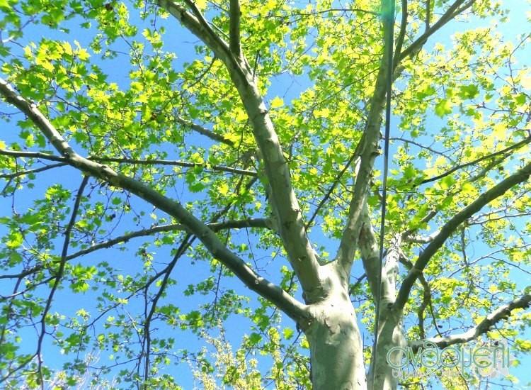 blog_anthomeli_tree